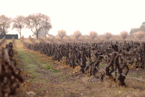 Vineyard Elderton Command in Winter