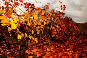Vineyard Elderton Autumn Barossa Wine Tours