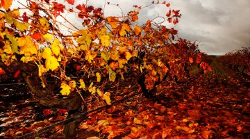 Vineyard Elderton Autumn Barossa Wine Tours