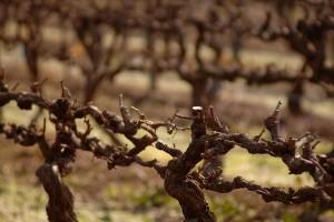 Pruned Vines Upclose