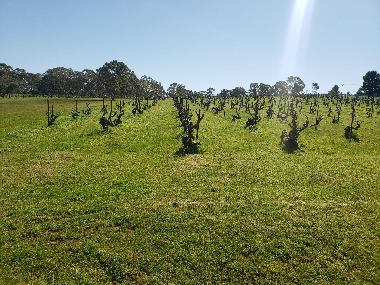 Wendouree vineyard