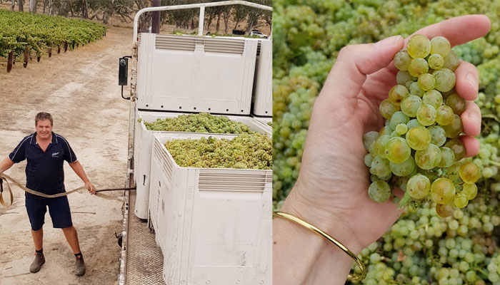 2019 Eden Valley Riesling being picked