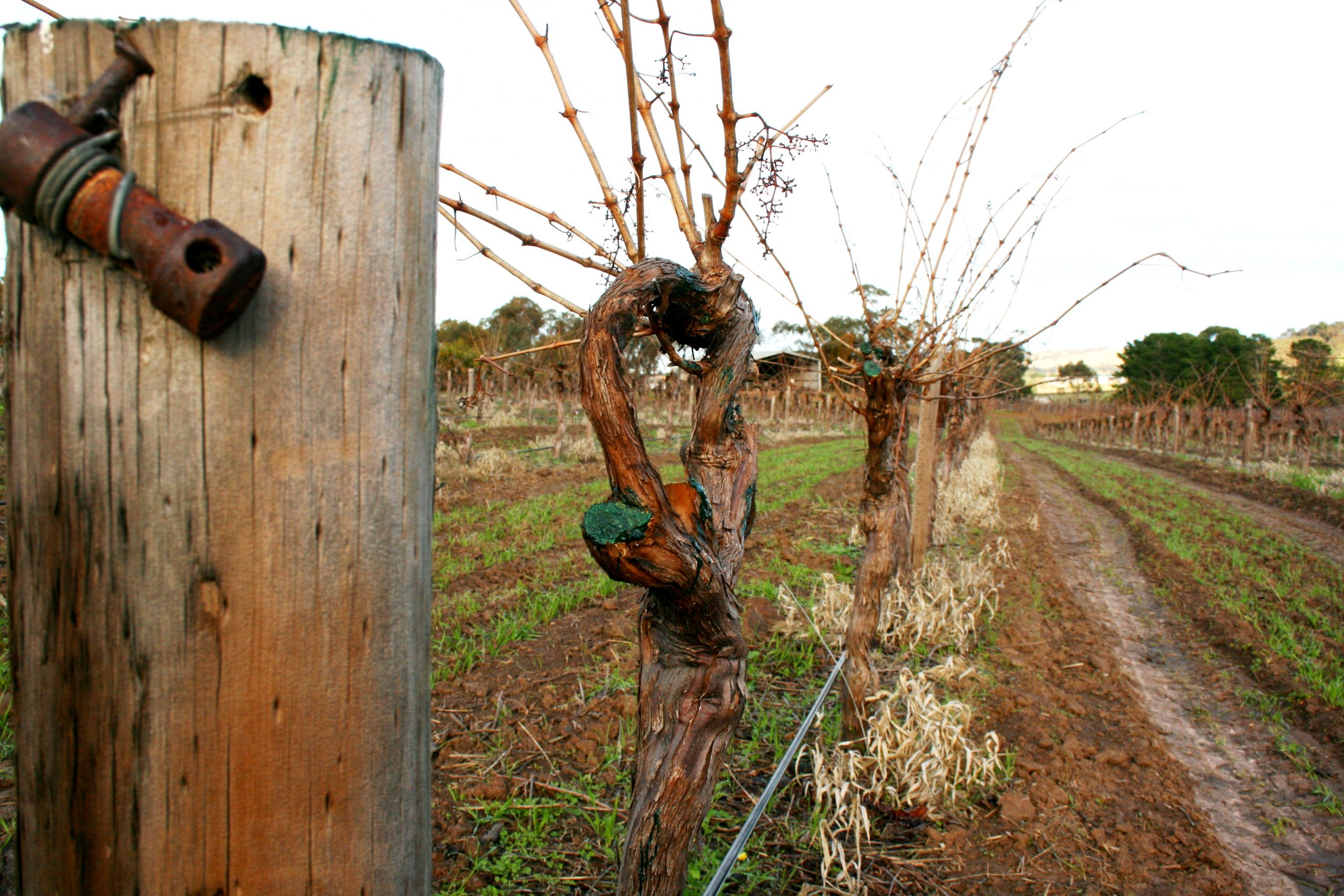 Pruned young vines at Greenock